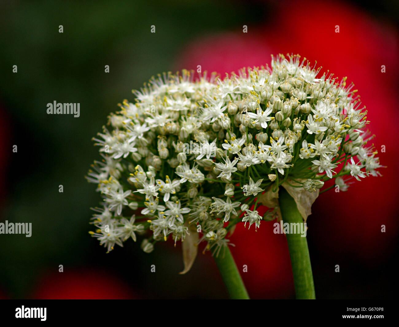 Sfere di cipolle fiori su sfondo rosso, elegante e insolito Immagini Stock