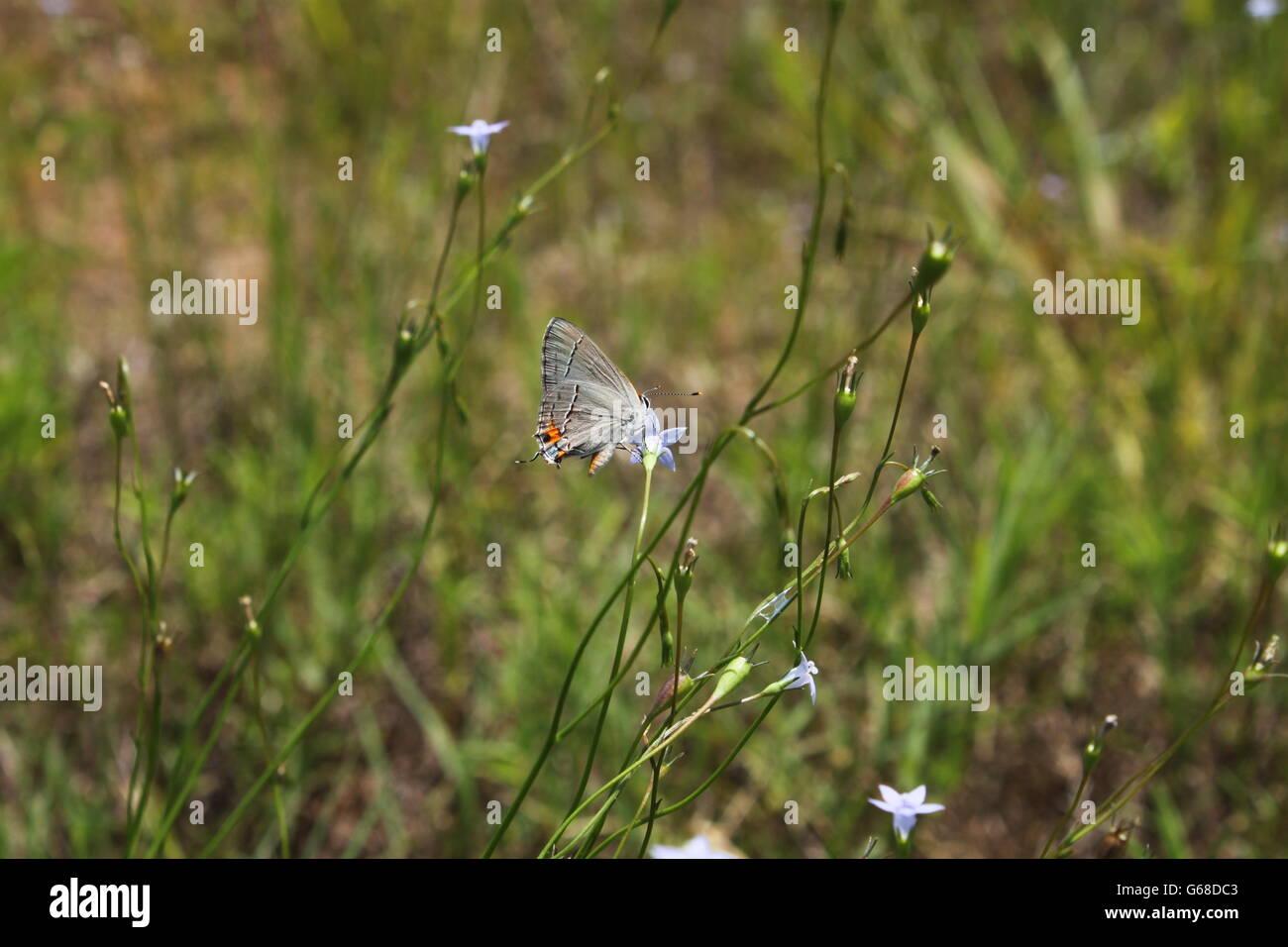 Orientale-tailed Blue Butterfly e fiori Foto Stock