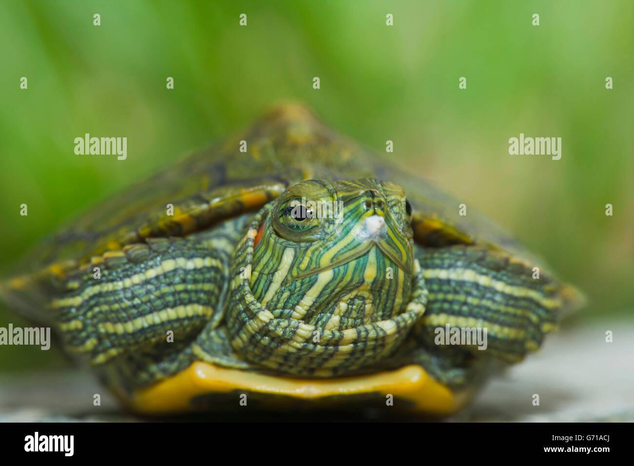 Rosso-eared tartaruga, hatchling, 12 giorni, con uovo dente / (Trachemys scripta elegans, Pseudemys scripta elegans) Immagini Stock