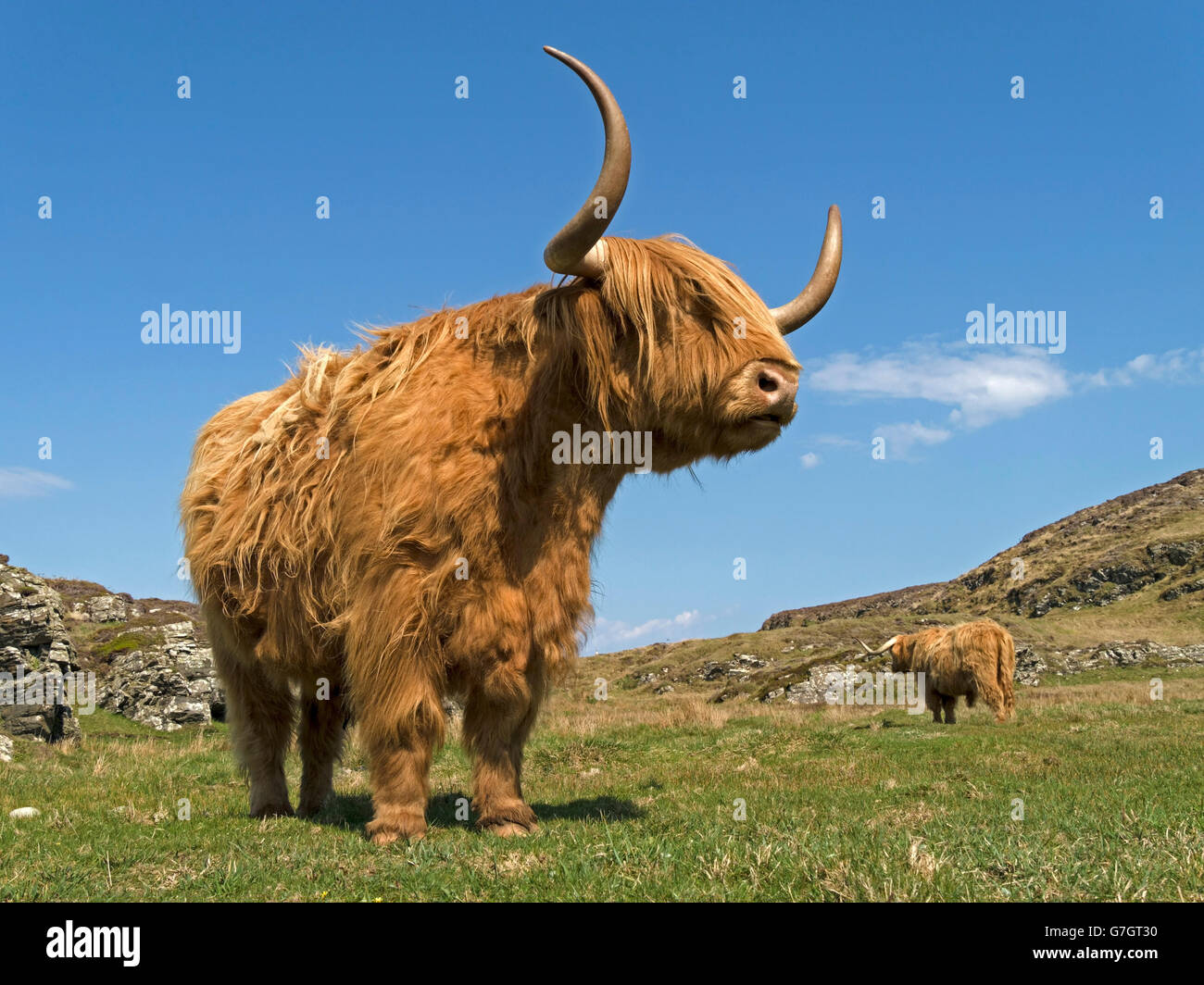 Scottish Highland mucca, Isola di Colonsay, Scotland, Regno Unito. Foto Stock
