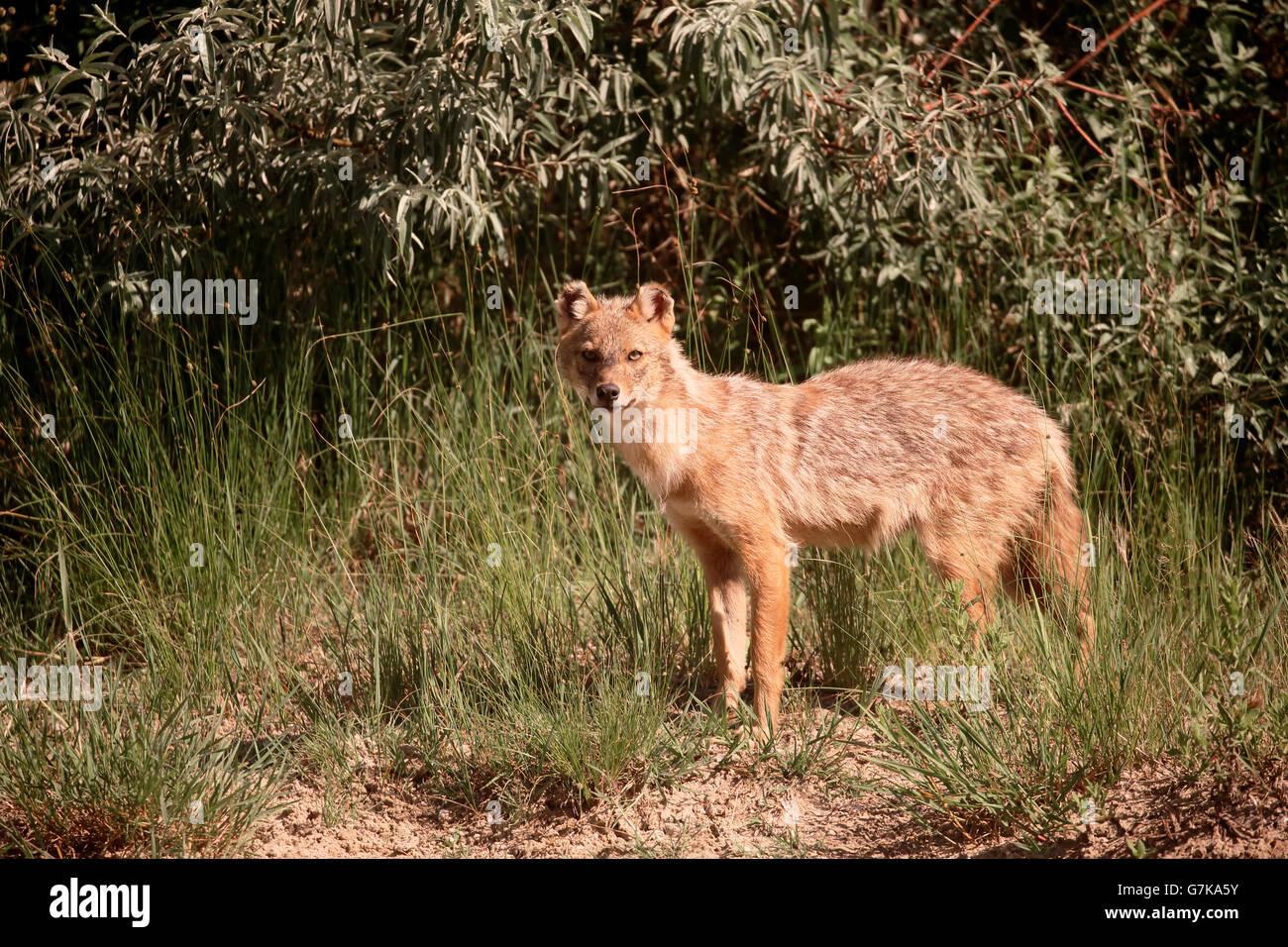 Jackal europea, Canis aureus moreoticus, unico mammifero su erba, Romania, Giugno 2016 Foto Stock