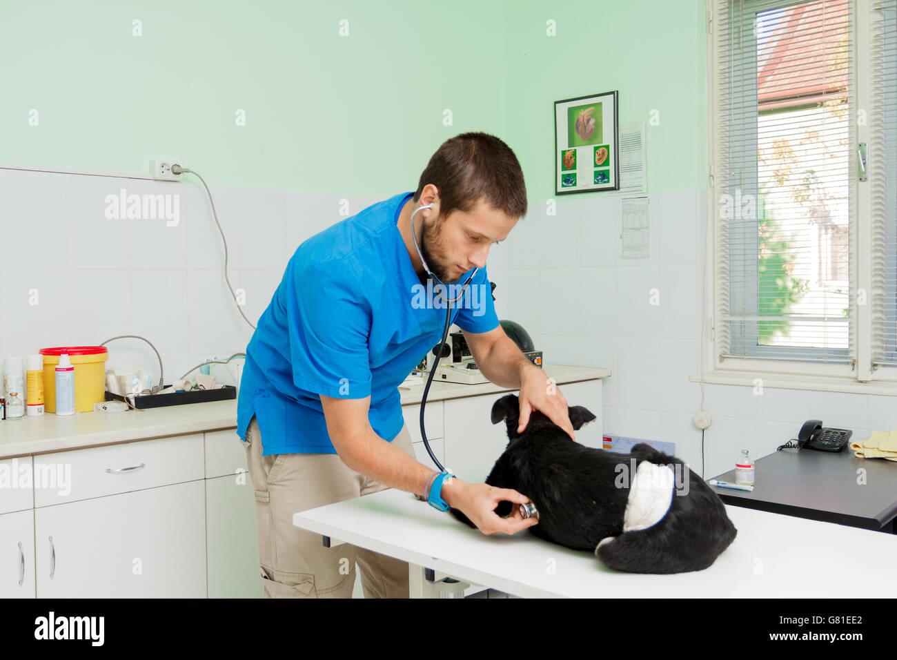 Giovane maschio veterinario al lavoro prendendo cura dei feriti sfollati cane Immagini Stock