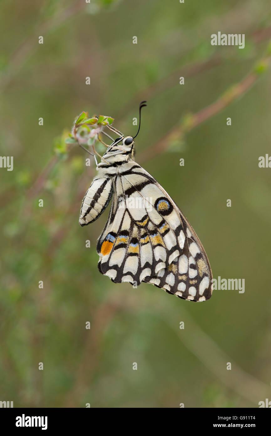 A coda di rondine a scacchi butterfly (Papilio demoleus) su tea tree Immagini Stock