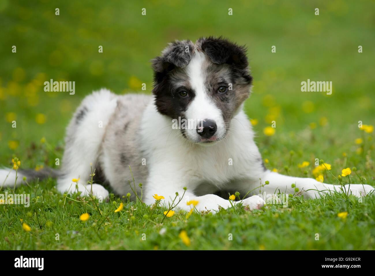 Blue merle Border Collie cucciolo Immagini Stock