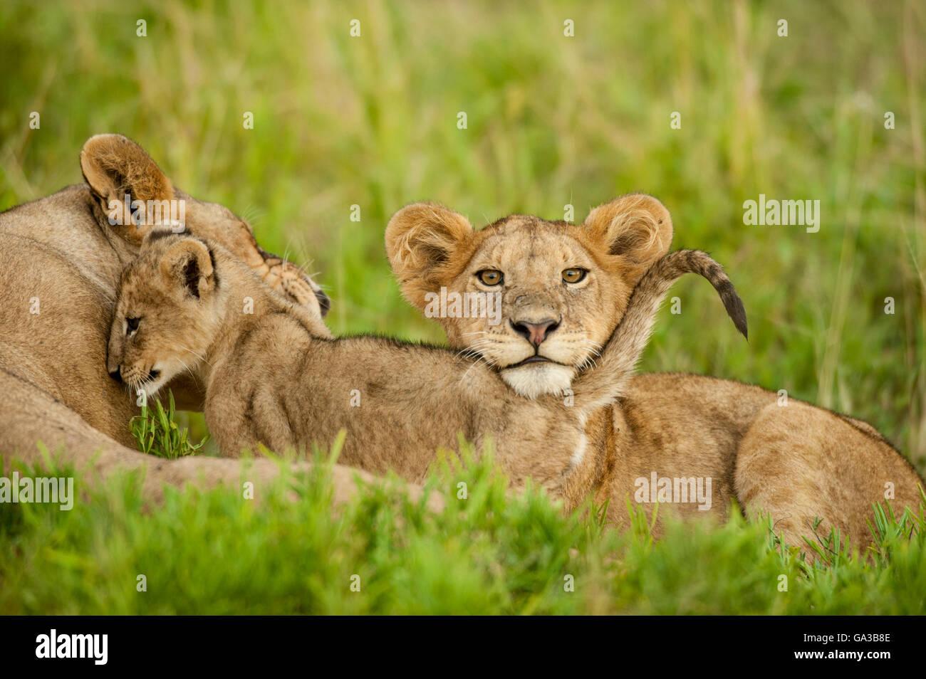 Lion cubs Panthero (LEO), il Parco Nazionale del Serengeti, Tanzania Immagini Stock