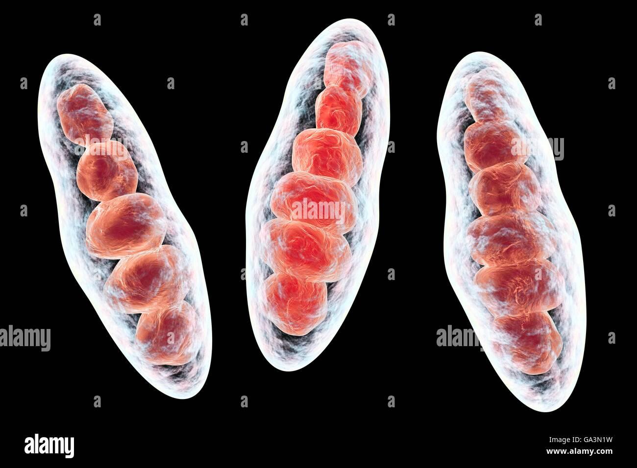 Computer illustrazione di Trichophyton mentagrophytes, la causa del piede d'atleta (tinea pedis) e cuoio capelluto tigna (tinea capitus). Entrambi questi pelle contagiosa di diffusione delle infezioni da fungo di spore (rosso). T. mentagrophytes è una di molte specie di funghi che possono crescere nella pelle umana, causando infiammazione e prurito. Il piede d'atleta e tigna sono trattati con farmaci antifungini. Visto qui sono macroconidia (multi-corpi cellulari contenenti le spore). Foto Stock