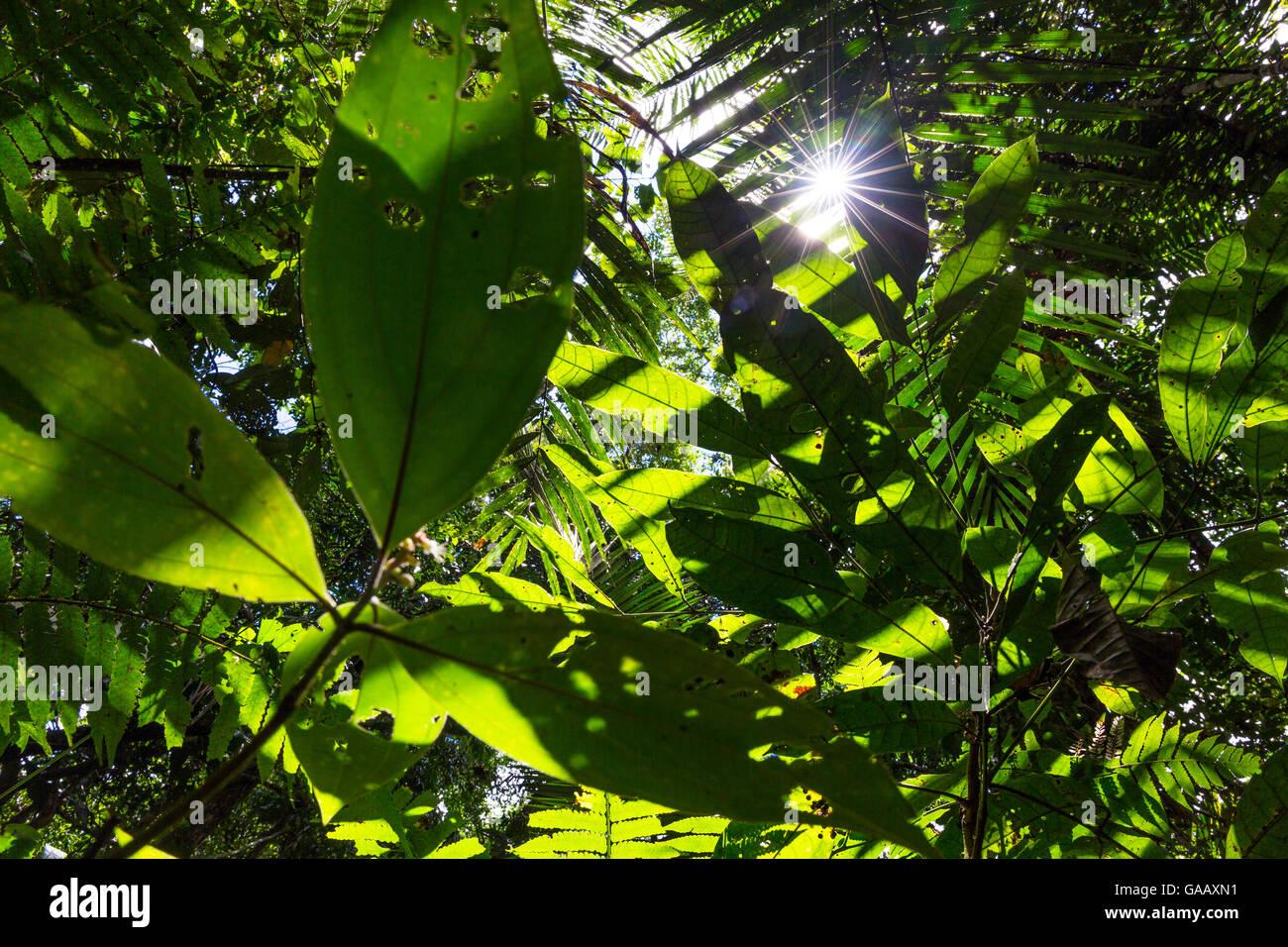 Visualizza in alto nella tettoia con raggi di sole che splende attraverso le foglie, la foresta pluviale di pianura, Immagini Stock