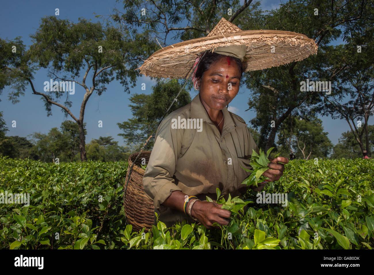 Raccoglitrice di tè, raccogliere le foglie di tè (Camelia sinensis) indossando grande cappello di paglia, Immagini Stock