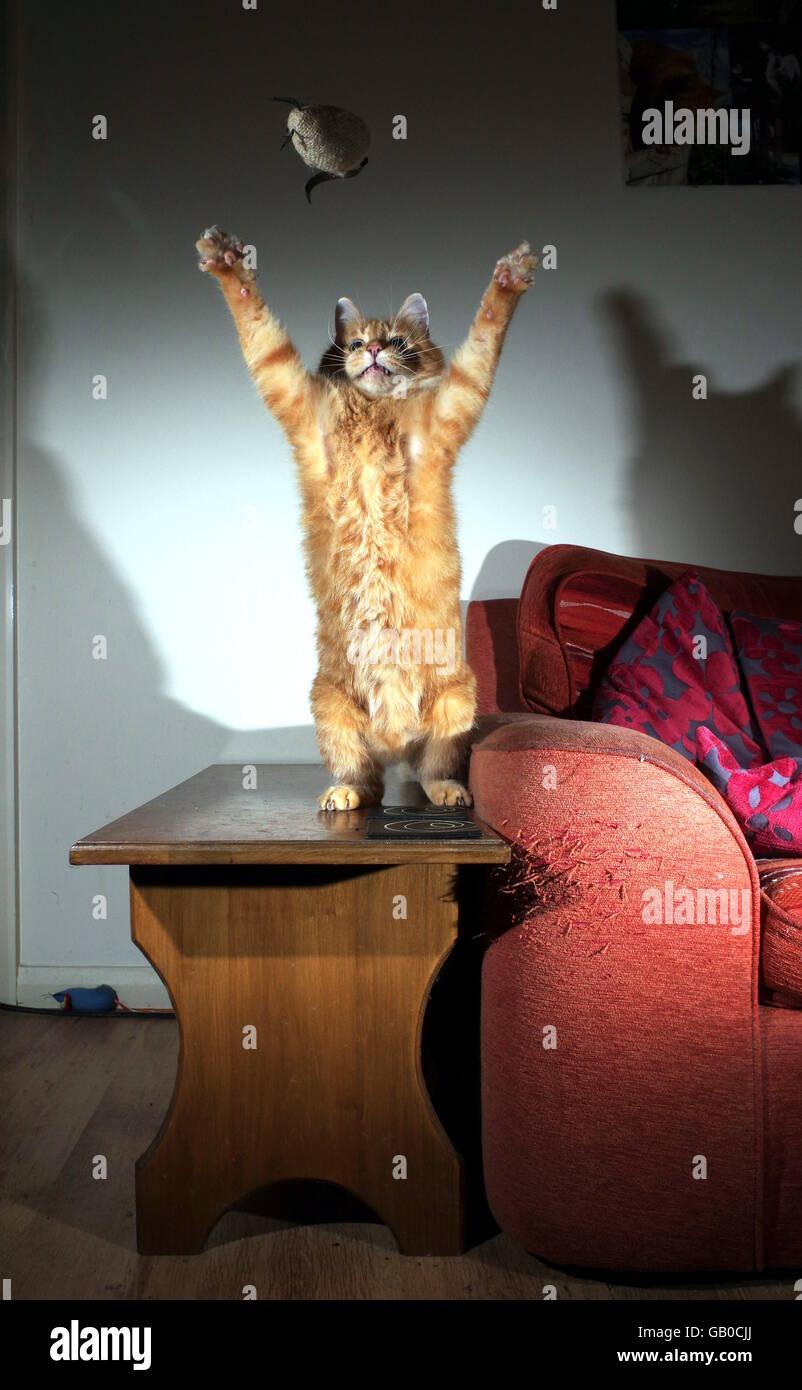 Lo zenzero cat giocando con mouse giocattolo Foto Stock