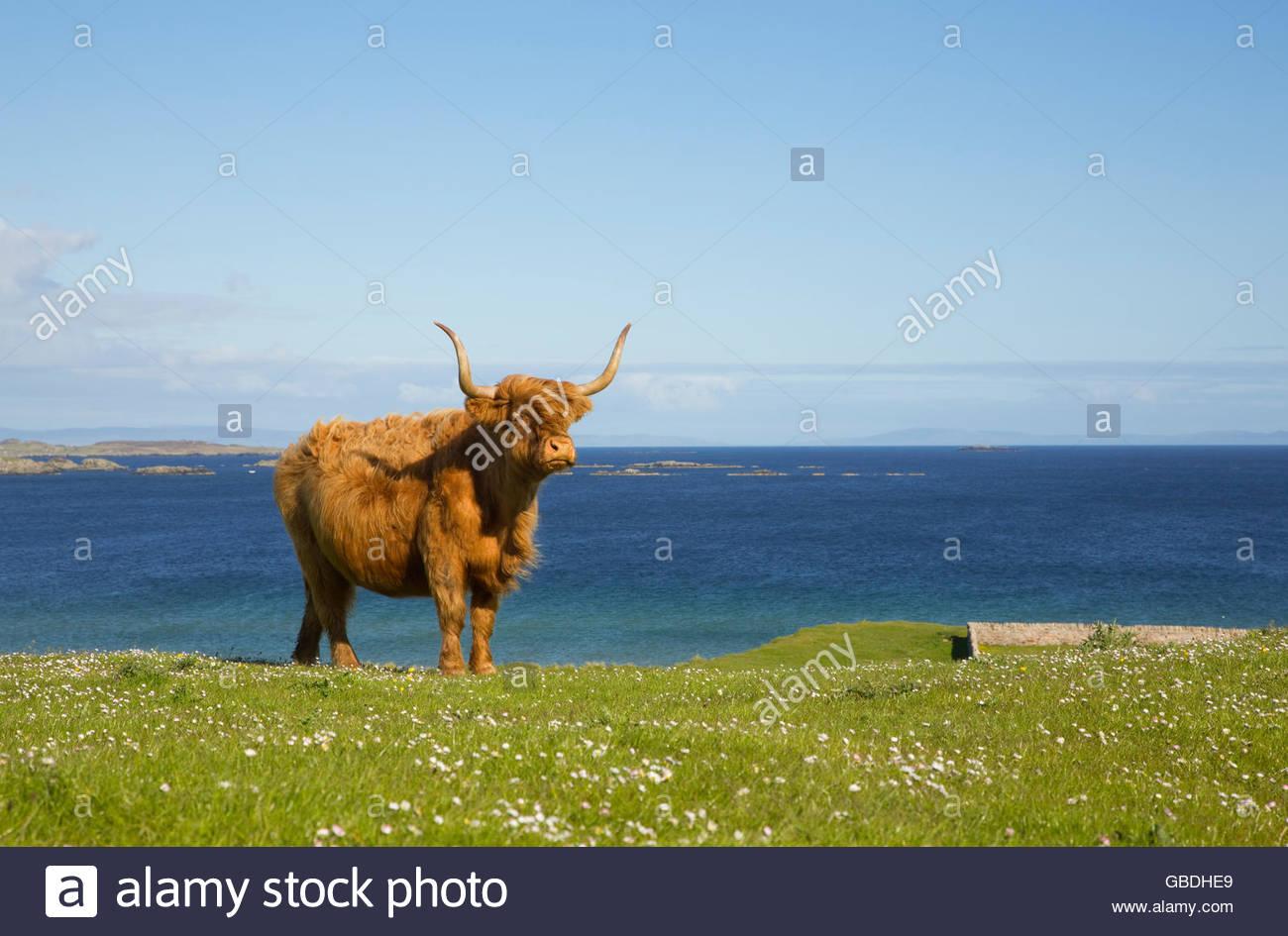 Un altopiano di mucca vicino a Port Ellen sull'isola di Islay, Ebridi Interne, Scozia. Immagini Stock