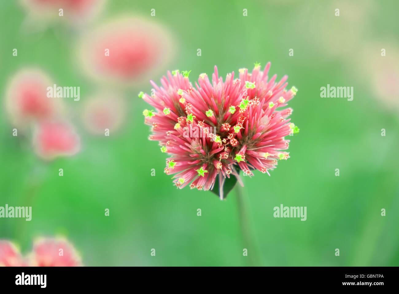 Gomphrena globosa fiori di un bel colore rosa Immagini Stock