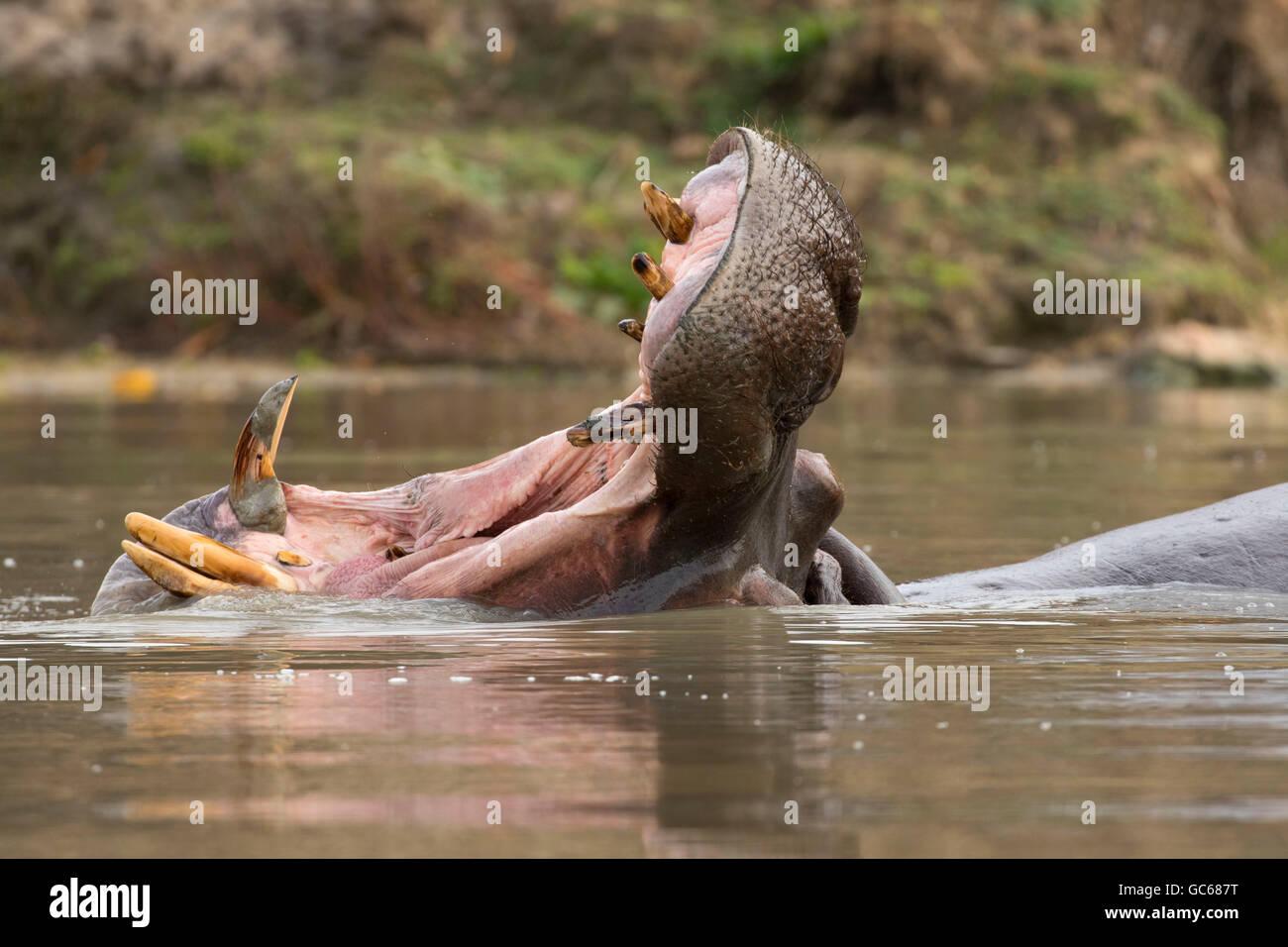 Ippopotamo (Hippopotamus amphibius), Wildlife Safari, Winston, Oregon Immagini Stock