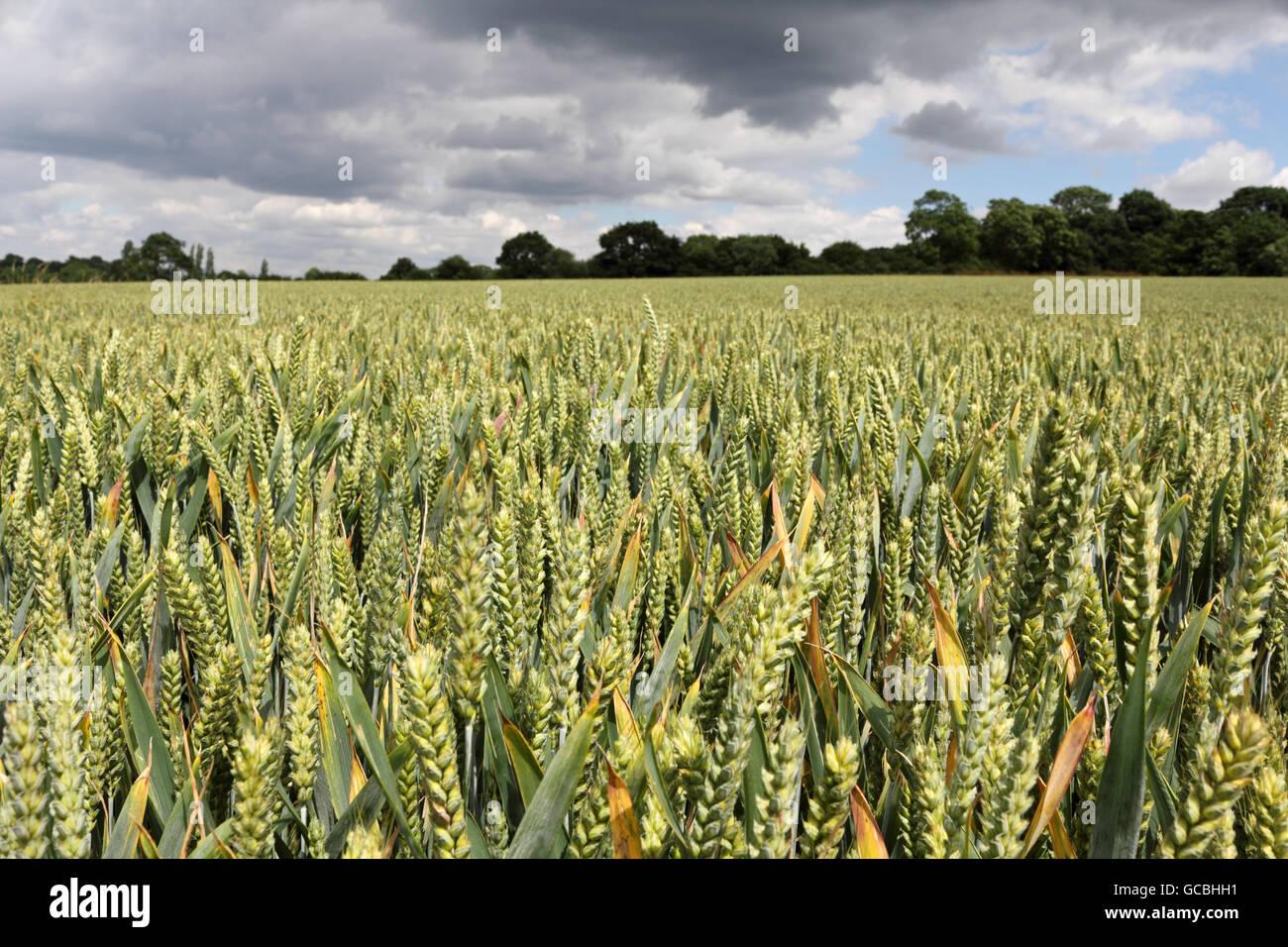 Fattoria Rushett campo di grano nella campagna del Surrey a Malden Rushett, Inghilterra, Regno Unito. Immagini Stock
