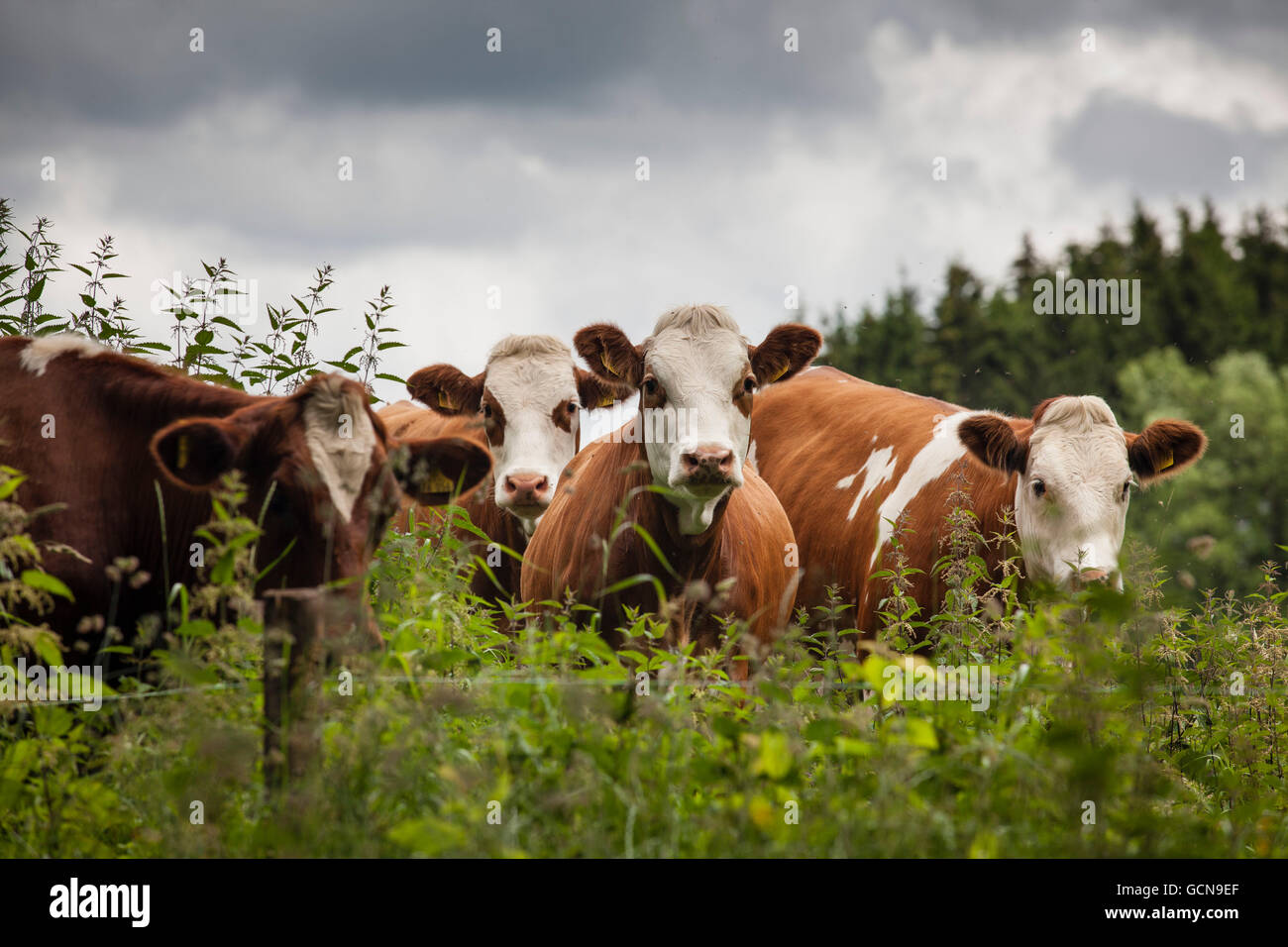 L'Europa, in Germania, in Renania settentrionale-Vestfalia, Regione del Basso Reno, bovini su un pascolo vicino Immagini Stock
