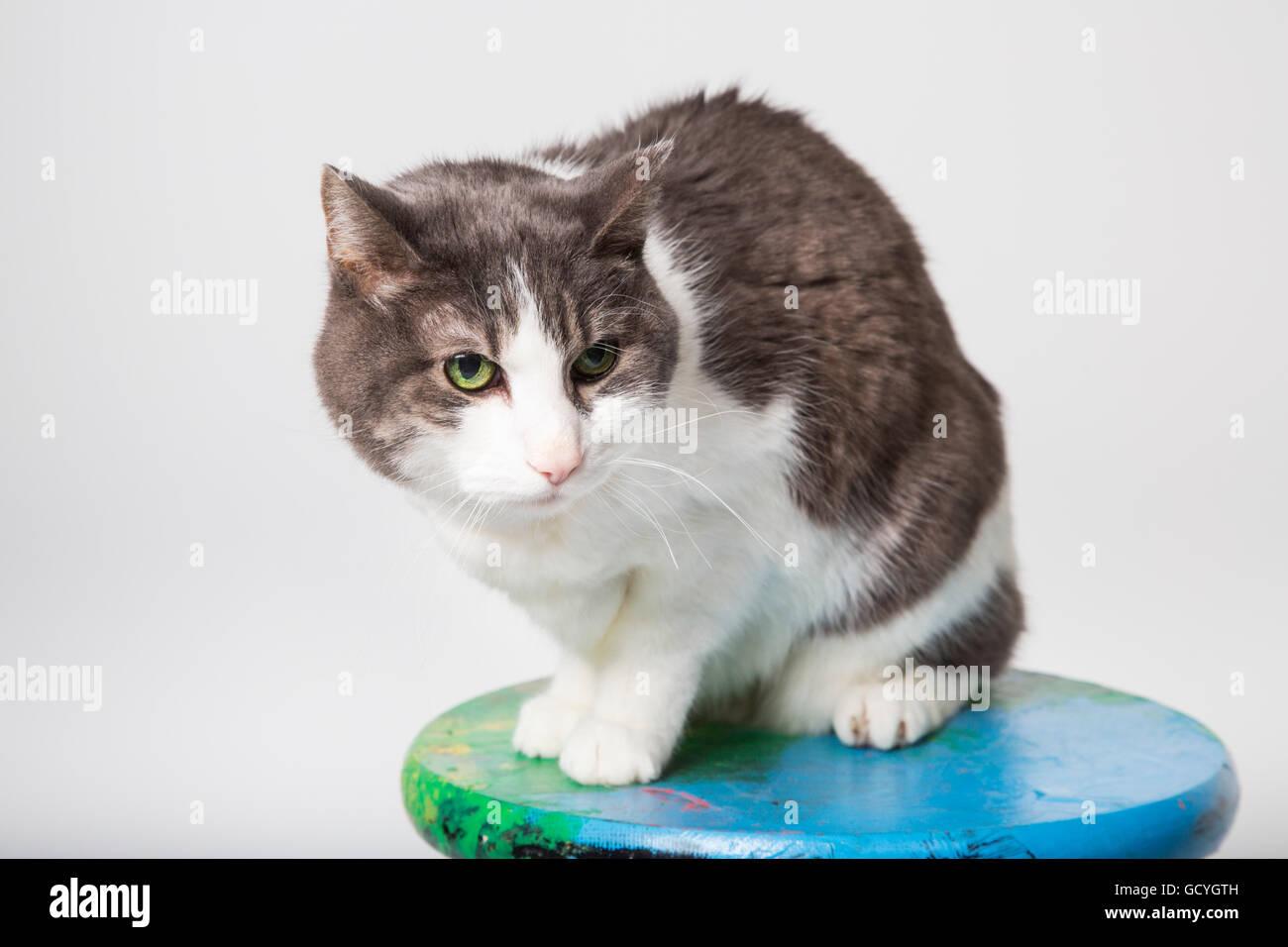 Domestico a pelo corto gatto su uno sgabello in uno studio su uno