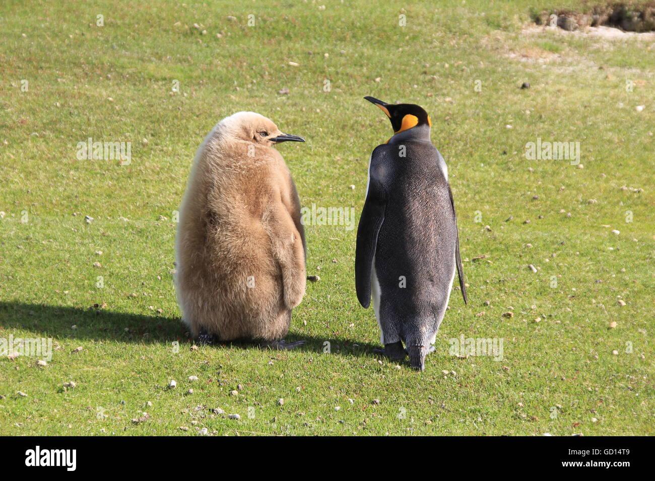 Pinguino reale con pulcino, Isole Falkland Foto Stock