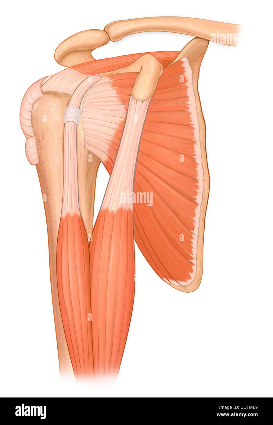 Tre quarti di visualizzare il normale articolazione spalla con bicipite e dei  muscoli della cuffia dei 3a477746872e