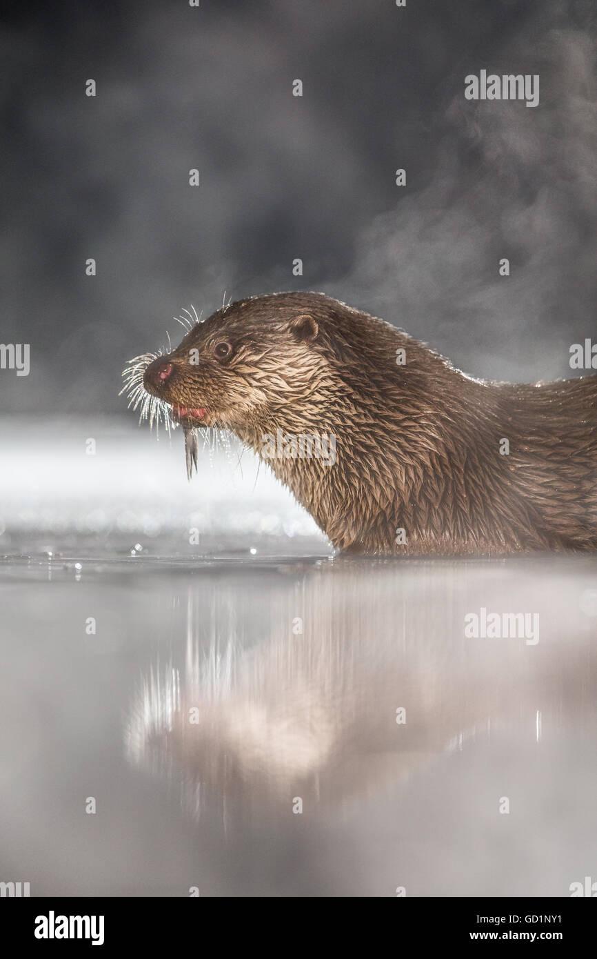 Lontra europea (Lutra lutra) alimentazione su un pesce appena pescato in una palude ghiacciata di notte Immagini Stock