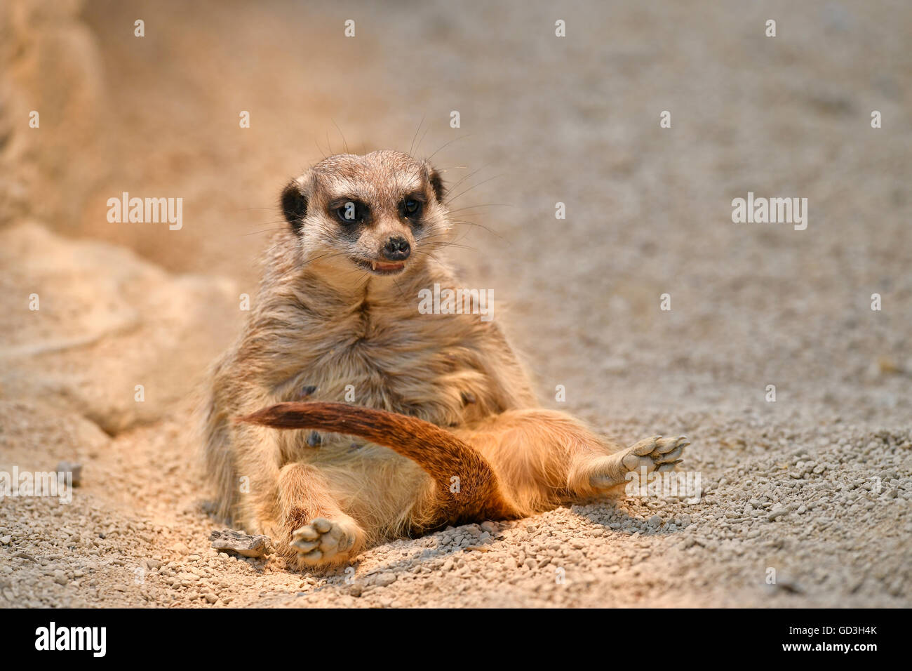 Meerkat (Suricata suricatta), la prole, captive Immagini Stock