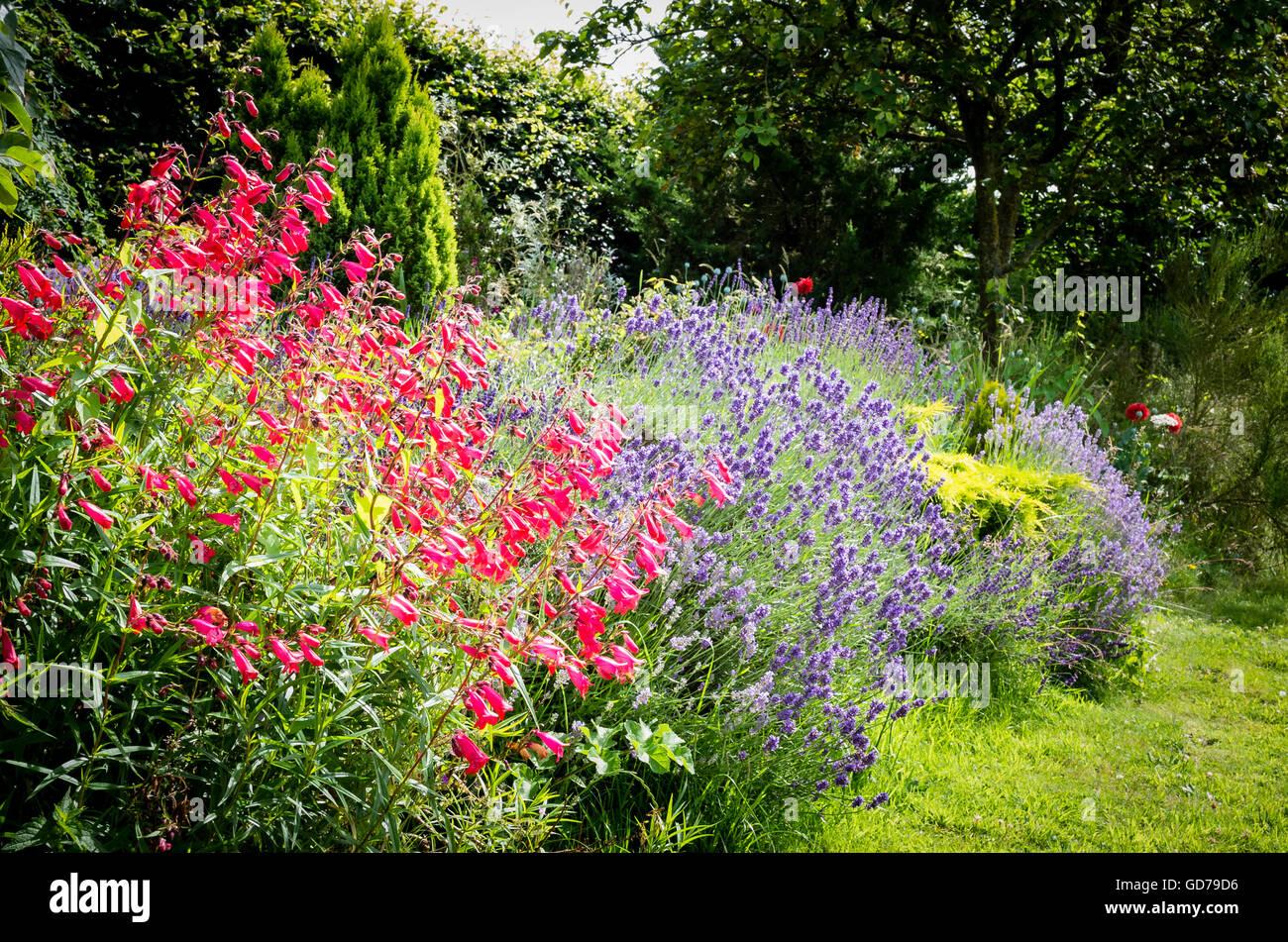 Penstemon Hidcote rosa in una riunione informale a bordo del giardino Foto Stock