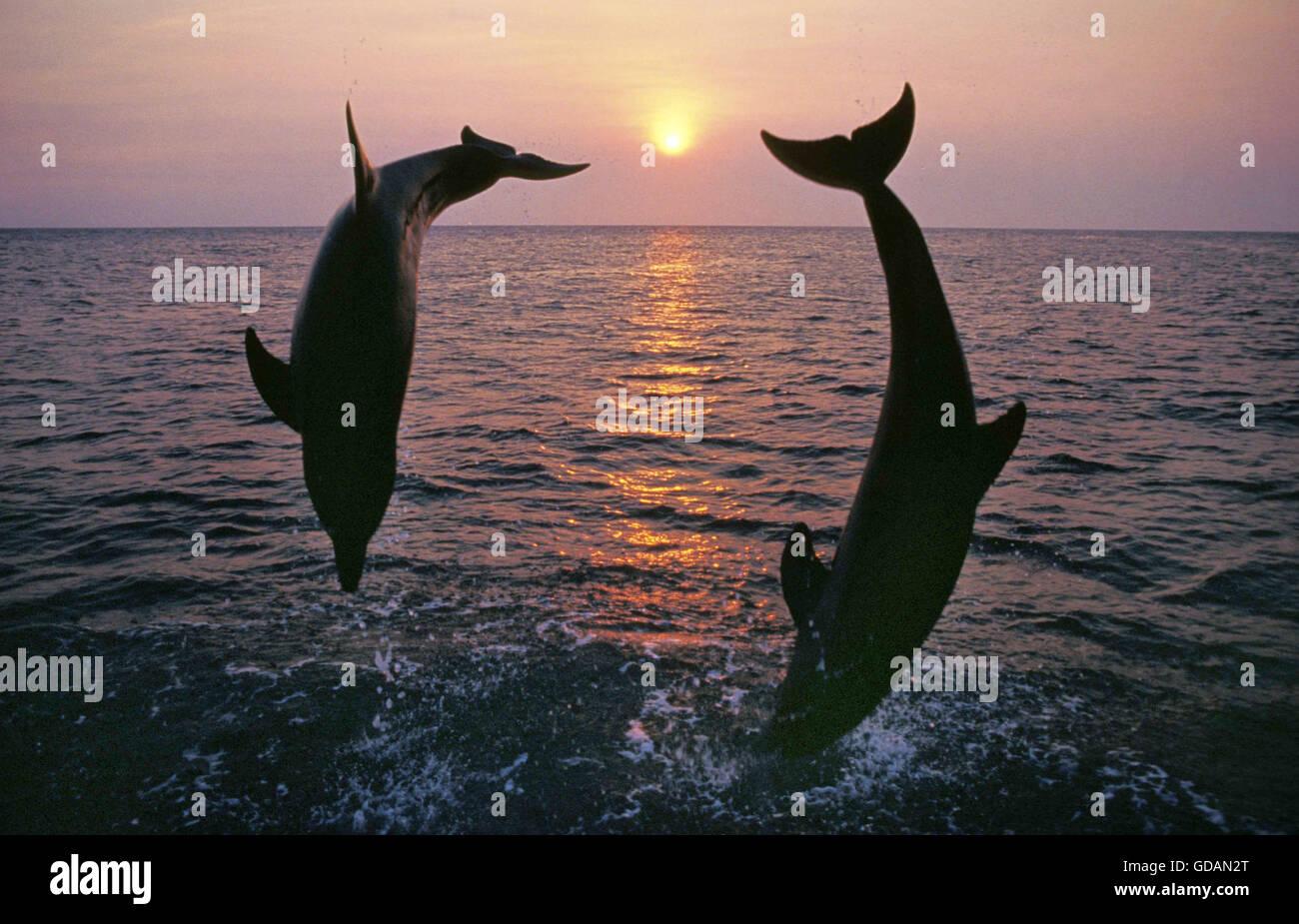 Il tursiope o delfino maggiore, tursiops truncatus, Adulti saltando al tramonto, costa vicino Honduras Immagini Stock