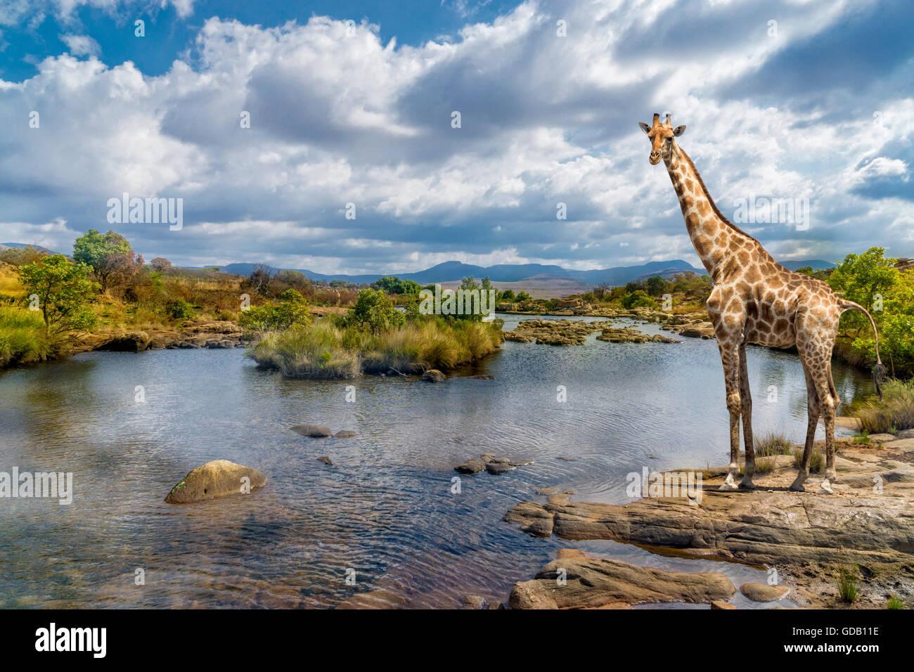 Il pittoresco colpo di una giraffa, in piedi presso la banca di fiume. Immagini Stock