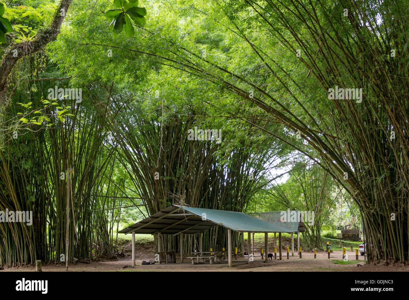 Archi di bambù al fiume Lopinot. Immagini Stock