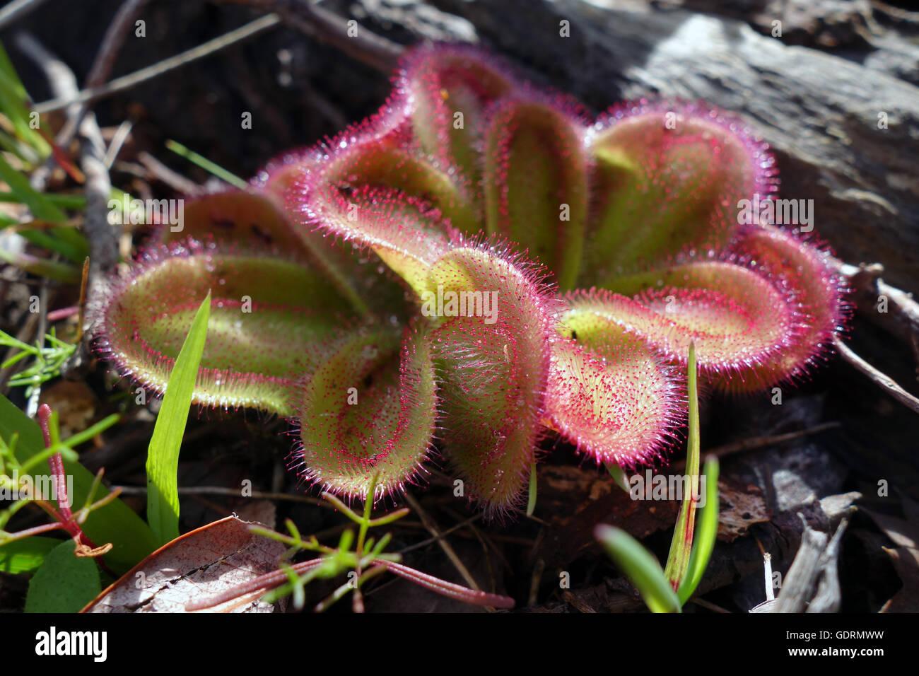 Pianta carnivora, Sundew (Drosera macrophylla), Roleystone, sulle colline di Perth, Perth, Western Australia Immagini Stock