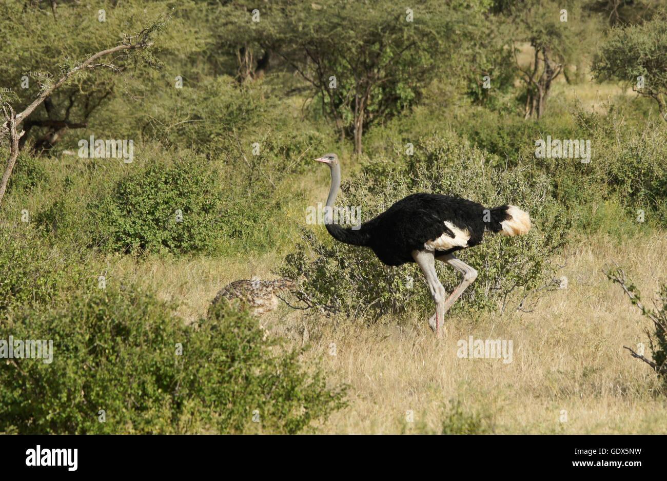 Maschio struzzo somalo con i capretti la prole, Samburu Game Reserve, Kenya Immagini Stock