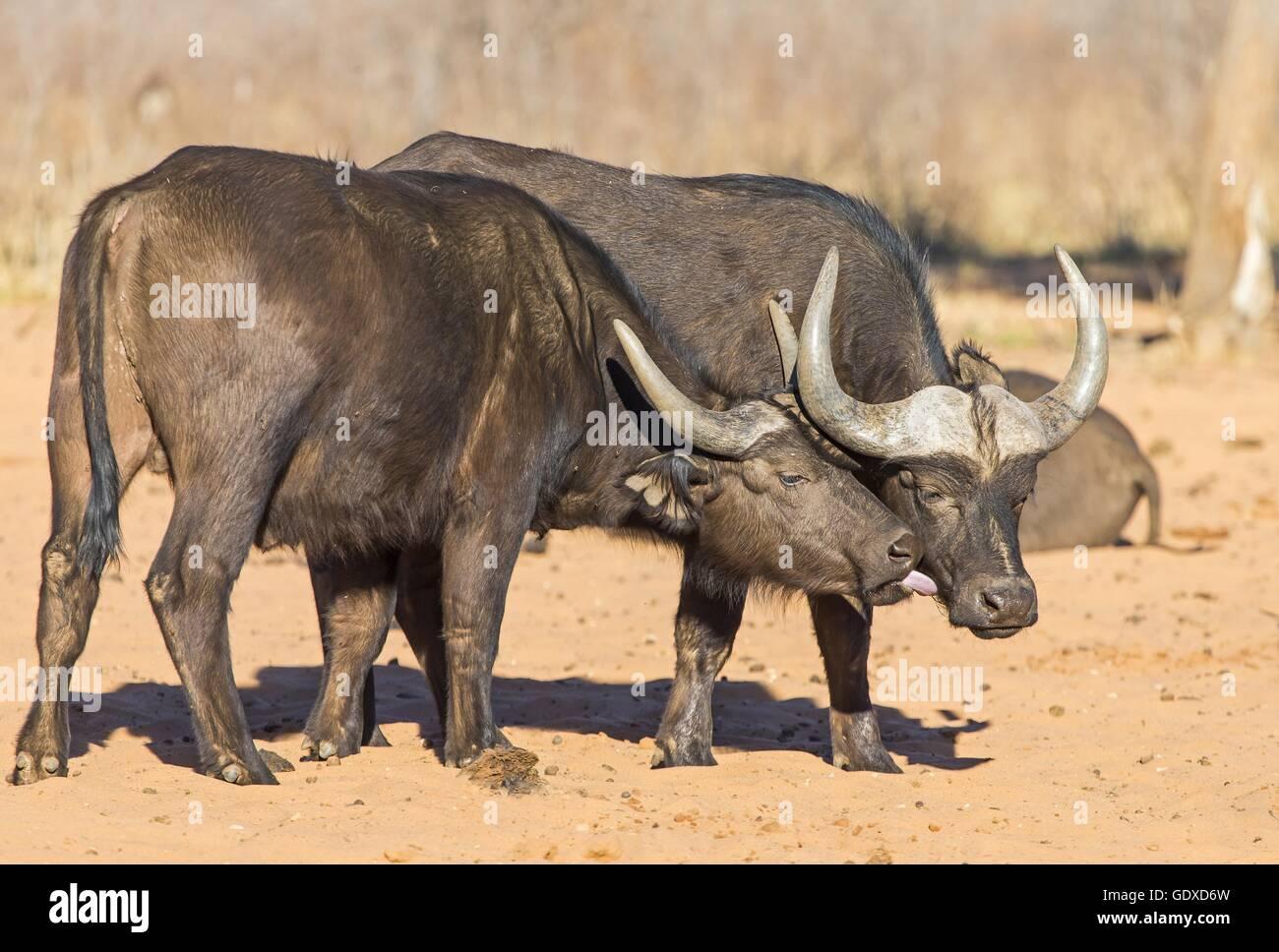 bufali Immagini Stock