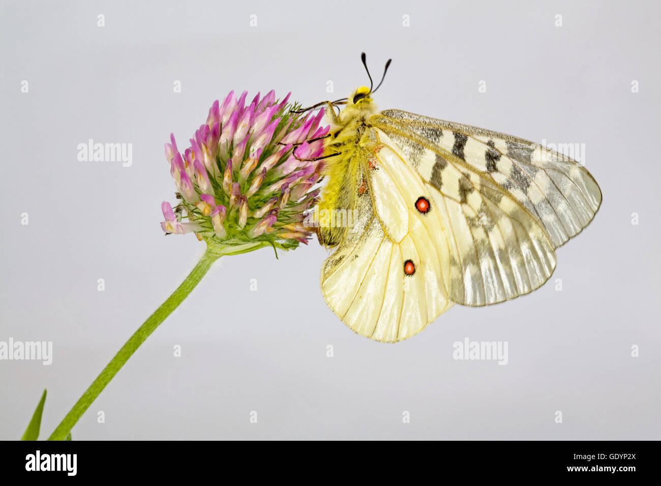 La American Apollo butterfly, Parnassius apollo, su un millefiori vicino a Camp Sherman in Oregon Cascade Mountains. Immagini Stock