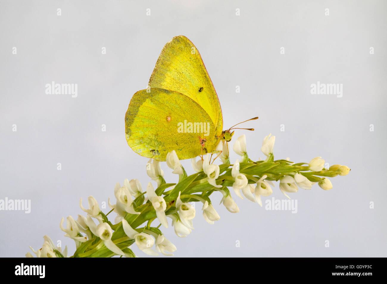 Un offuscato la farfalla di zolfo, Colias philodice, tenendo il nettare da un fiore Immagini Stock