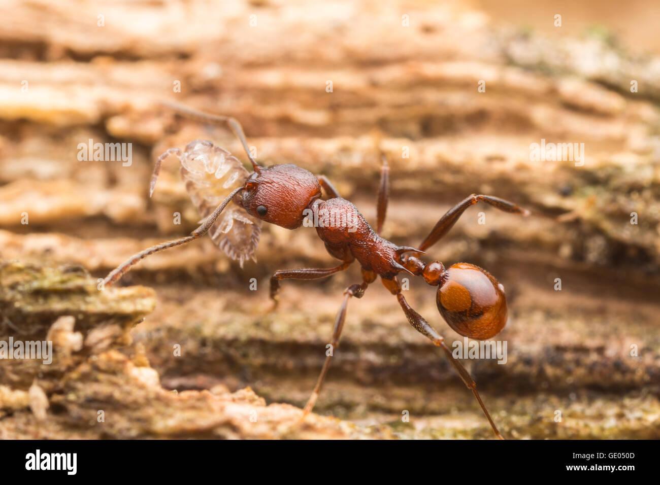 Un dorso-cintata Ant (Aphaenogaster tennesseensis) lavoratore svolge la sua spazzato il cibo, un woodlouse, torna Immagini Stock