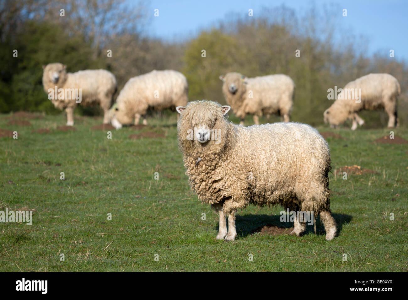 Cotswold Lion razza di pecore, Cotswolds, Gloucestershire, England, Regno Unito, Europa Immagini Stock