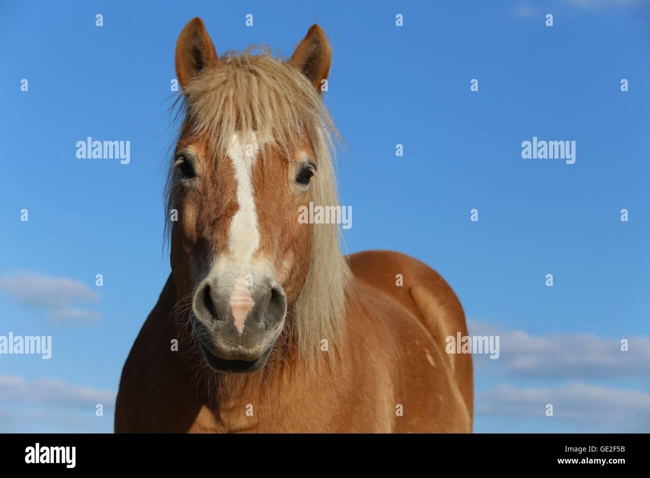 Cavalli di Razza Haflinger ritratto Immagini Stock