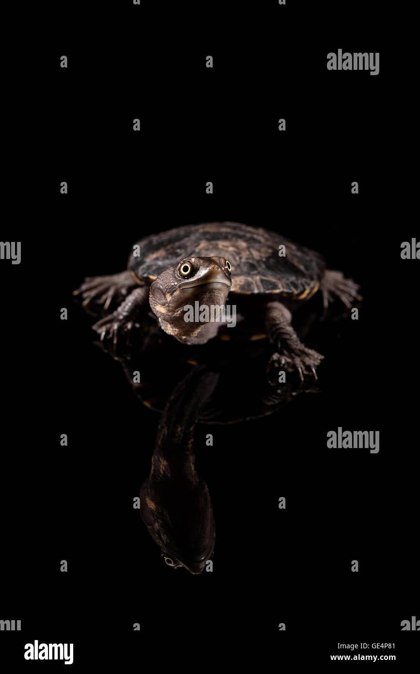 Baby Long-Necked orientale Turtle guardando verso l'alto Immagini Stock