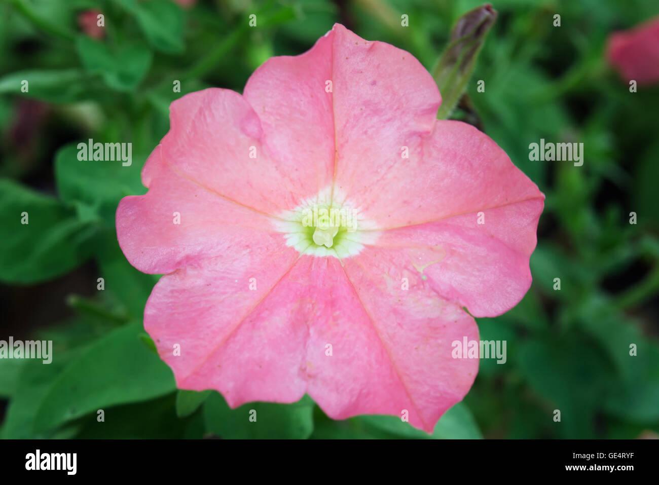 Fiori Rosa Nomi.Chiuda In Su Di Un Fiore Di Rosa Del Deserto Immagini Chiuda In