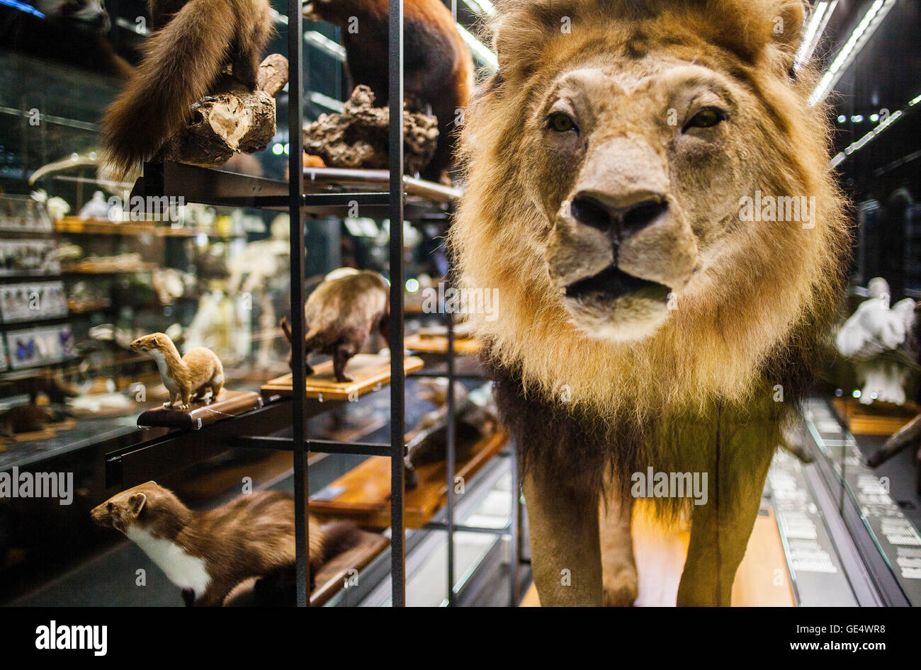 Il Museu Blau,il Museo di scienze naturali,vetrina predatori . Edificio progettato da Jacques Herzog e Pierre de Immagini Stock