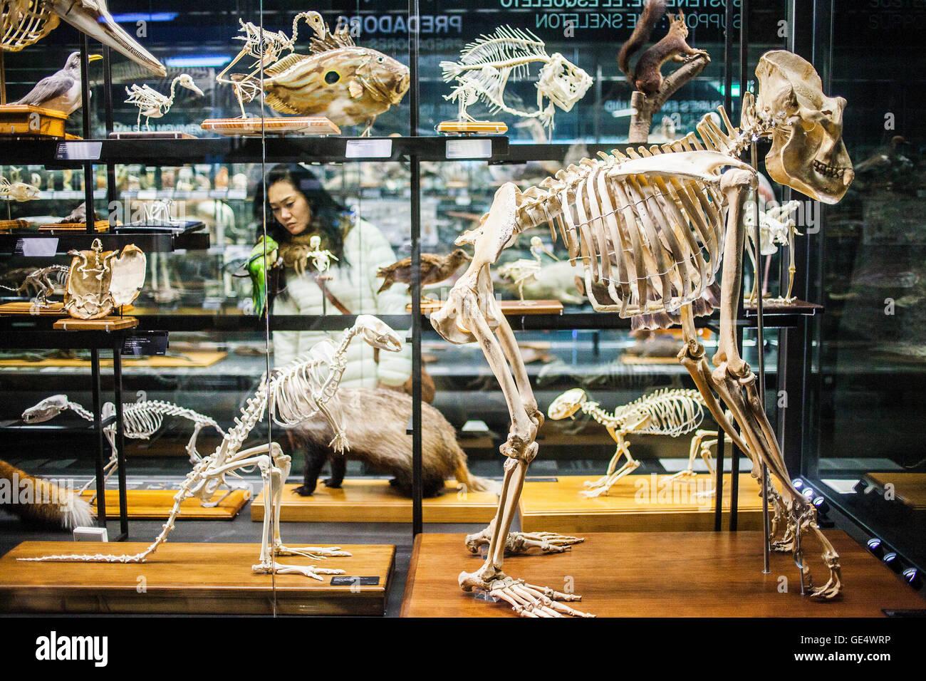 Il Museu Blau,il Museo di scienze naturali,case di scheletri. Edificio progettato da Jacques Herzog e Pierre de Immagini Stock