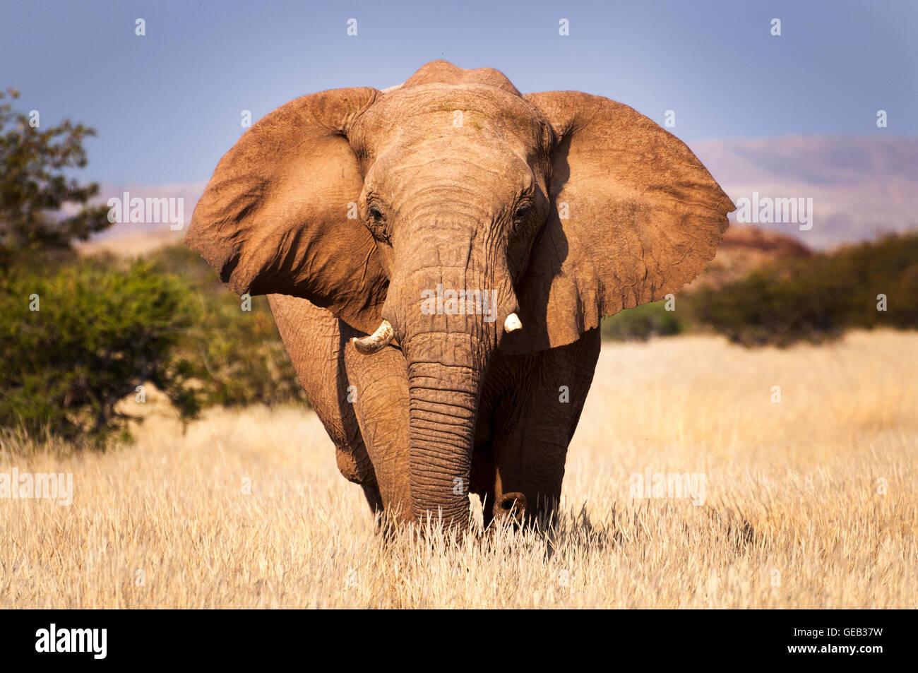 L'elefante nella savana, in Namibia, Africa, concetto per i viaggi in Africa e Safari Foto Stock