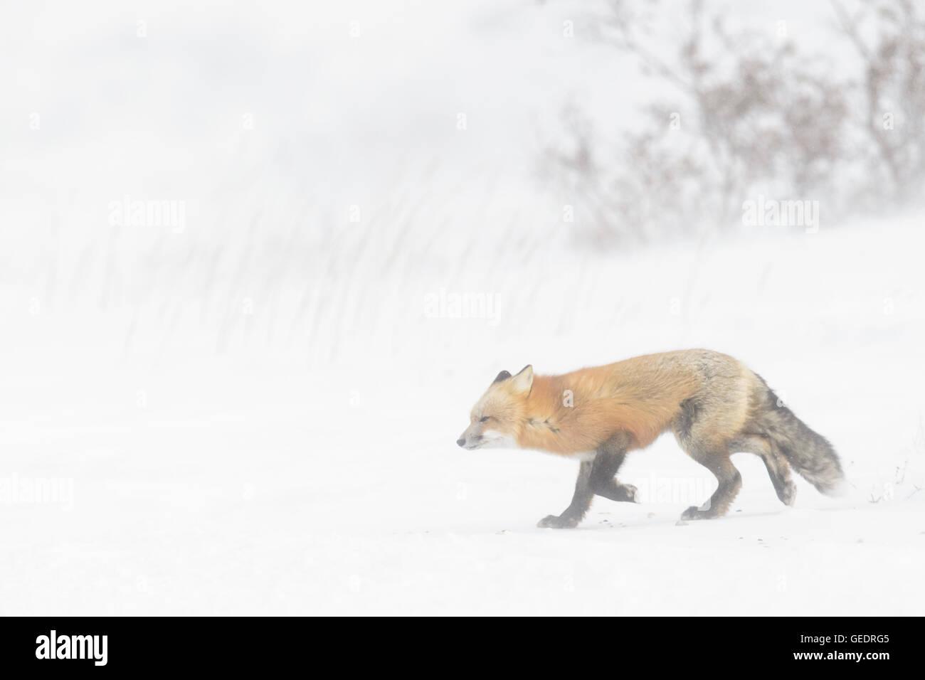 Red Fox (Vulpes vulpes vulpes) adulto, passeggiate nella neve durante la bufera di neve, Churchill, Manitoba, Canada. Immagini Stock