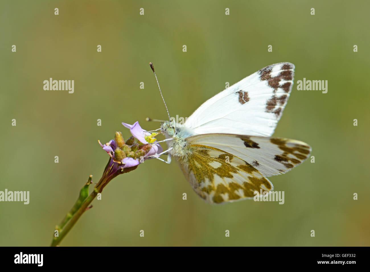 Butterfly, Pontia daplidice, aspirando il nettare Immagini Stock