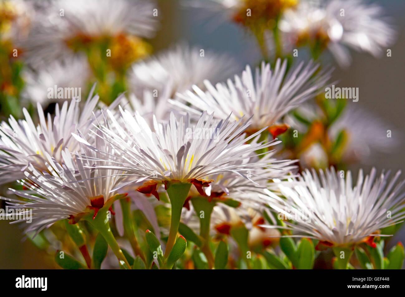 Piante succulente fiori Immagini Stock