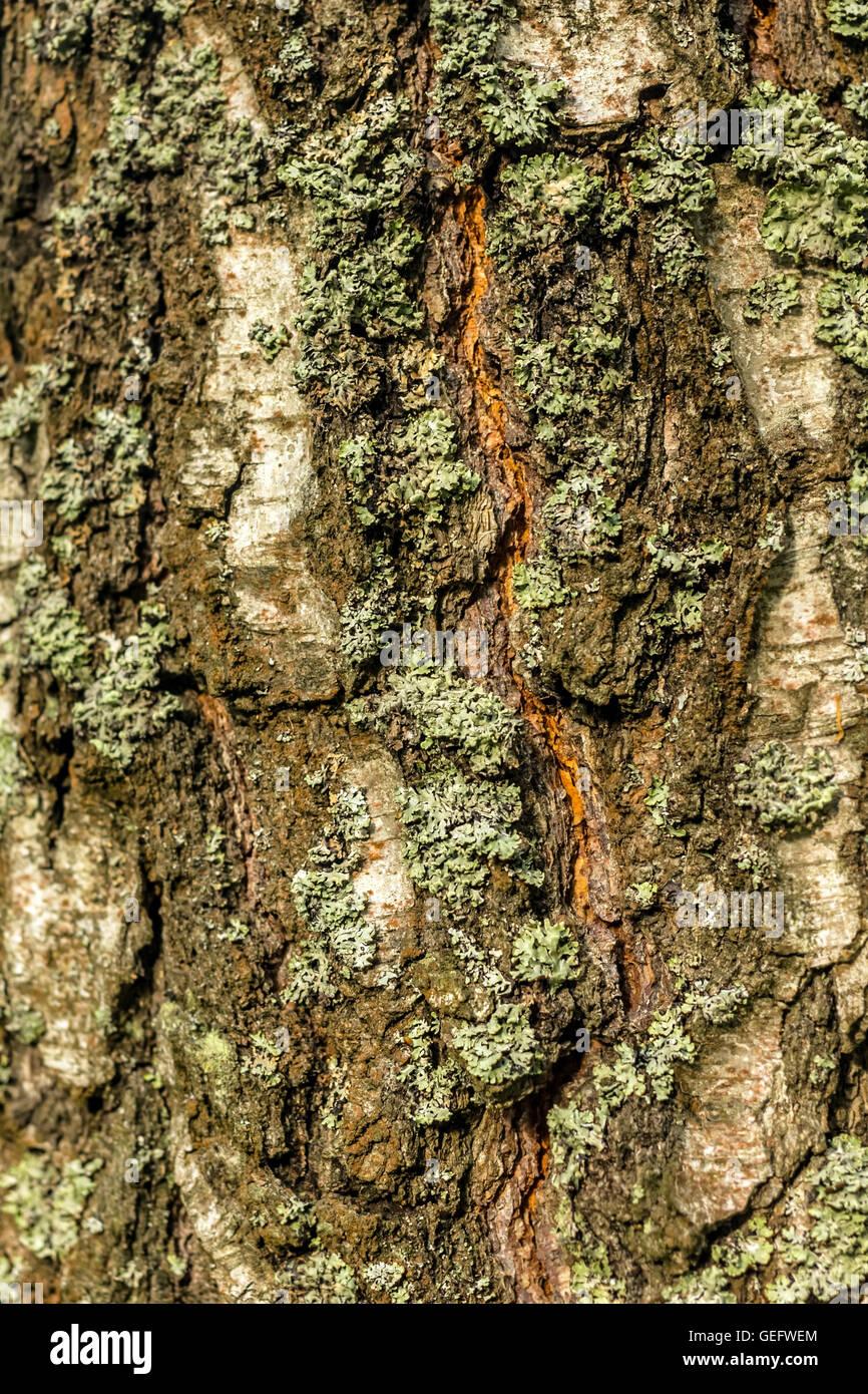 Multicolor corteccia del vecchio albero al giorno Immagini Stock