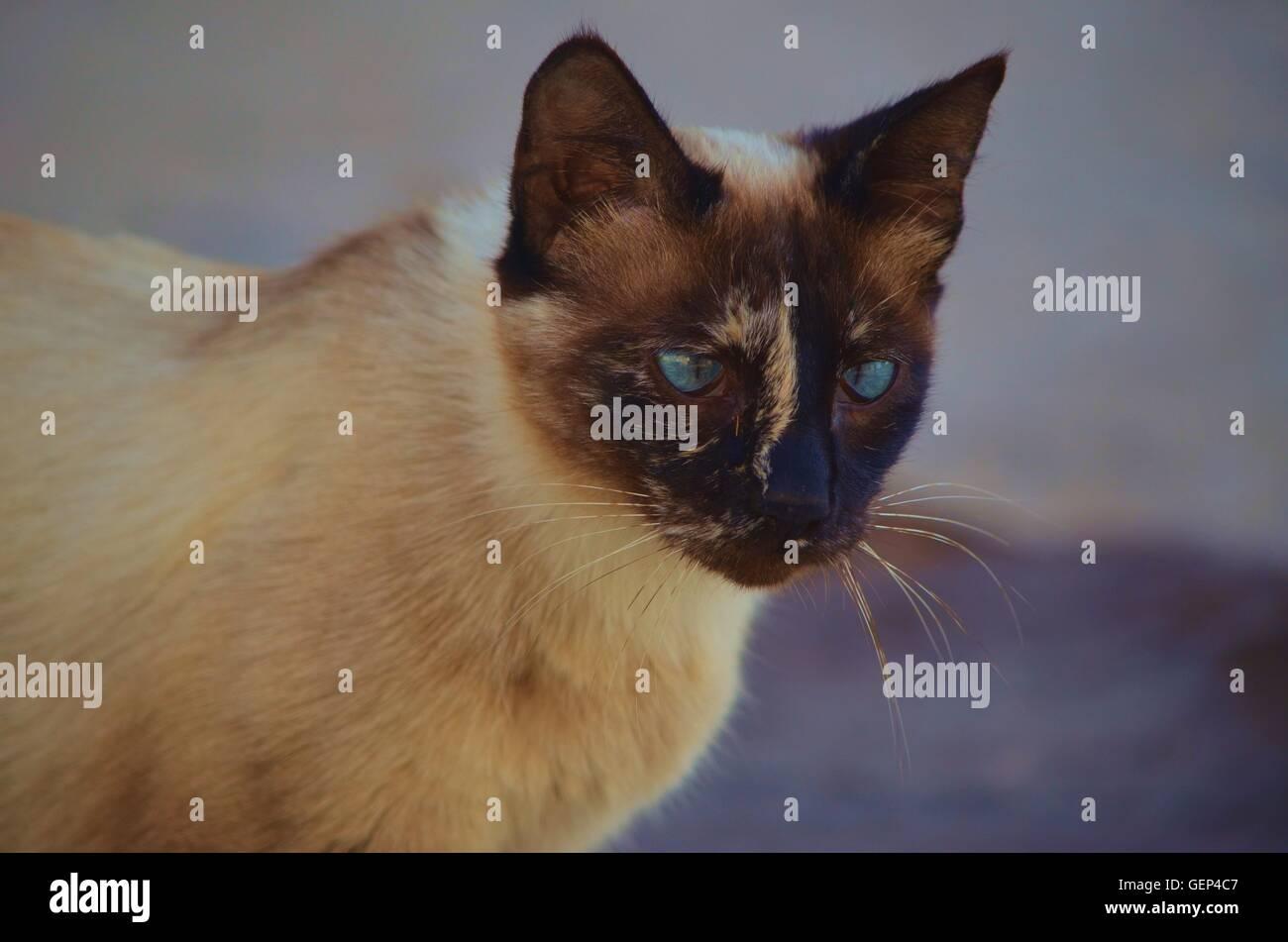 Ritratto Di Un Gatto Siamese Gatto Con Vivaci Occhi Blu E Beige