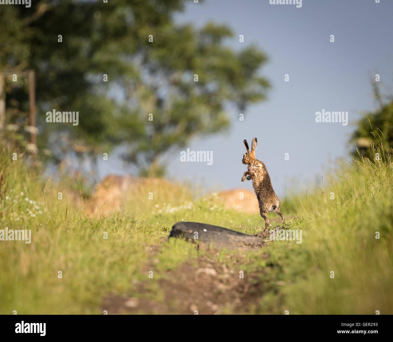 Brown lepre sul percorso, in piena leap, bagnata dalla balneazione in impasto (Lepus europaeus) Immagini Stock