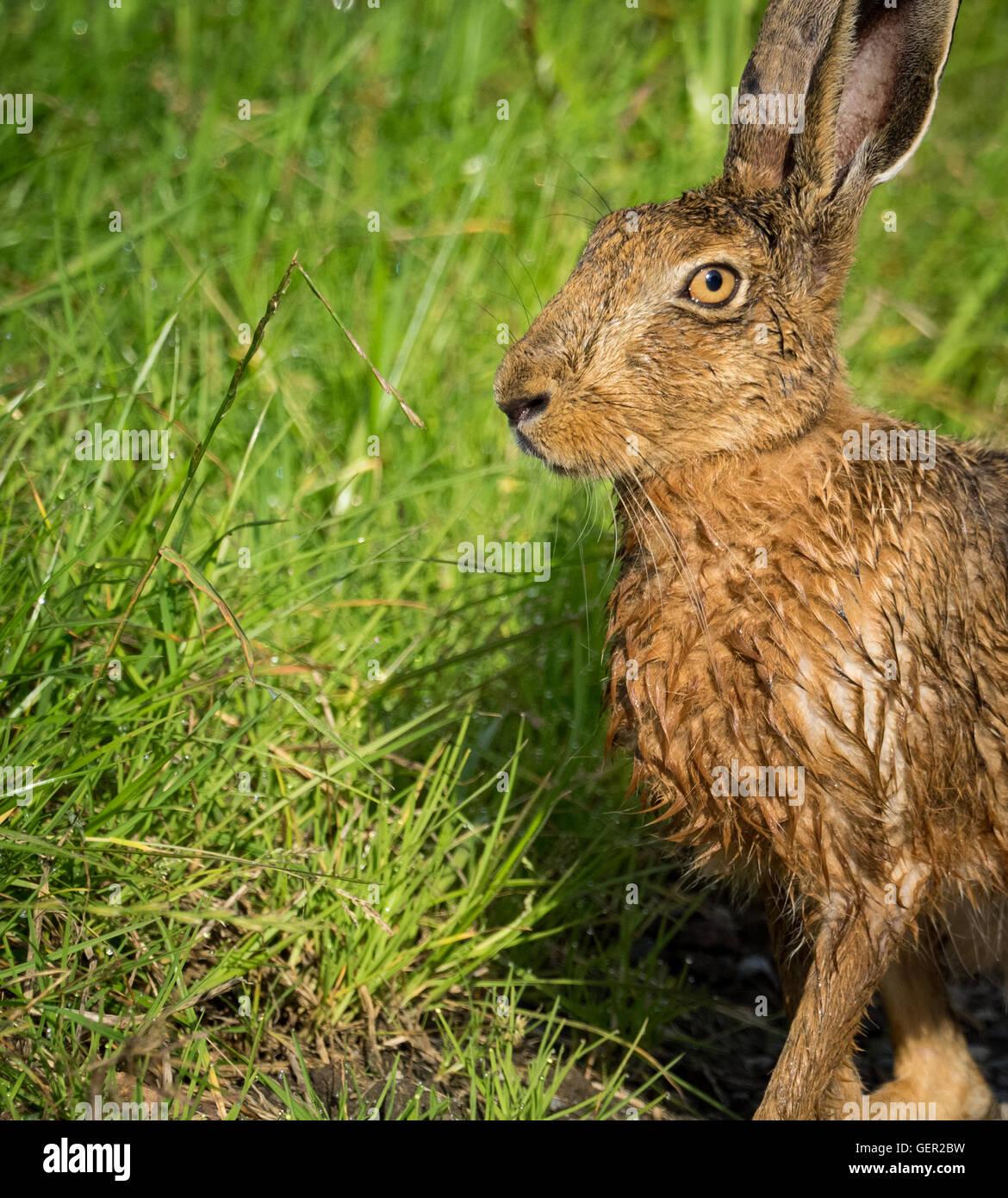 Brown lepre sul percorso in erba bagnata dalla balneazione in impasto (Lepus europaeus) Immagini Stock