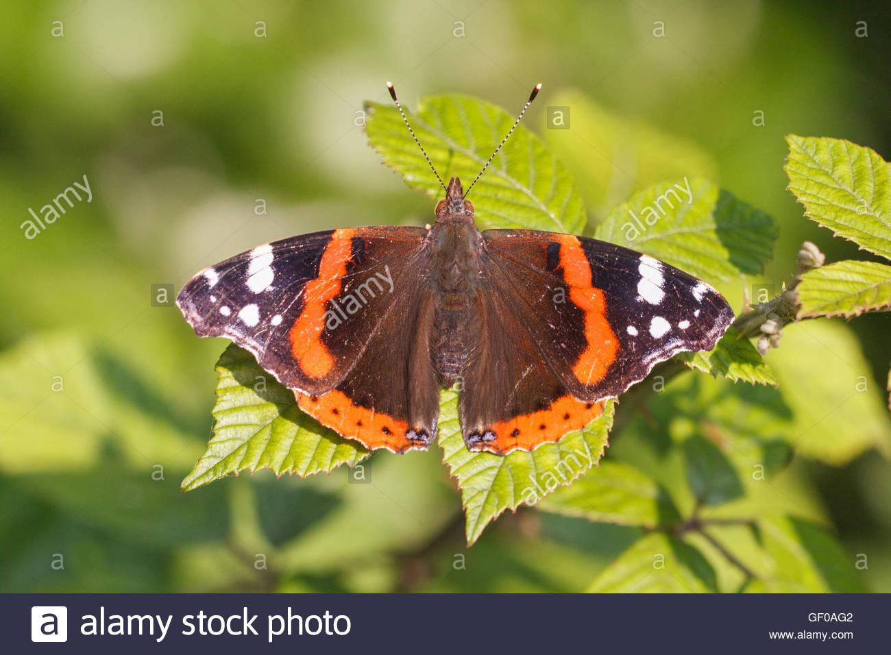 Un Rosso Admiral butterfly ensoleillement stessa su una boccola di Blackberry Immagini Stock