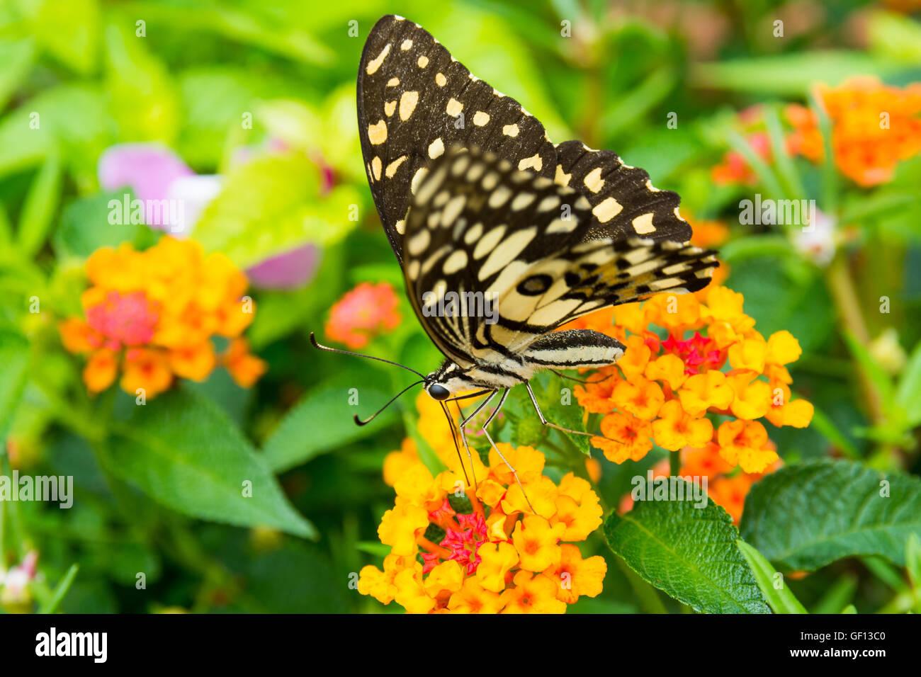 Lime butterfly (Papilio Demoleus Malayanus) sul fiore in Chiang Mai Thailandia Immagini Stock