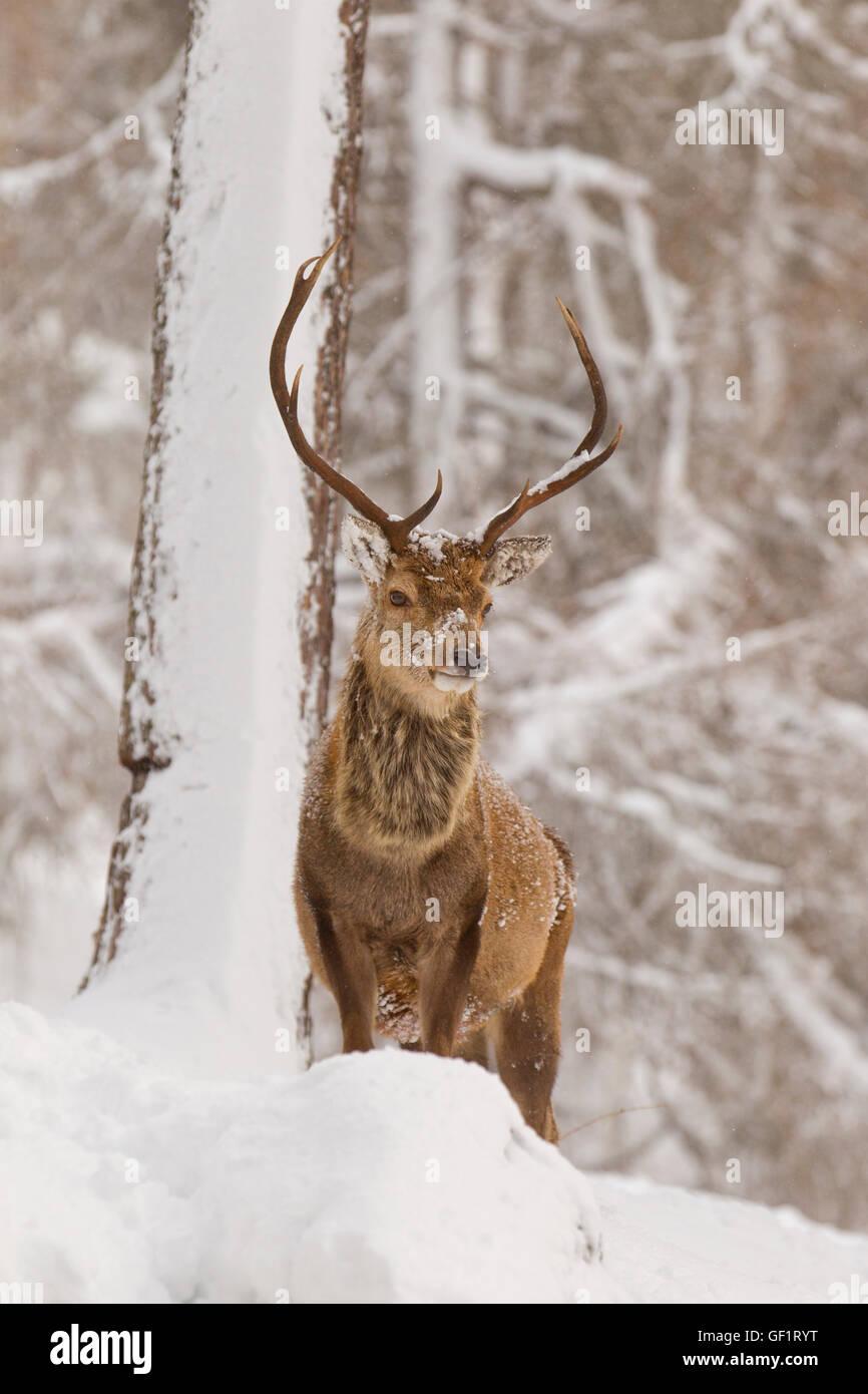 Il cervo rosso in inverno la neve Immagini Stock